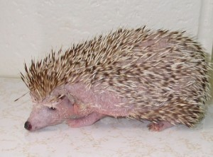 hedgehogsdiseases1scaler